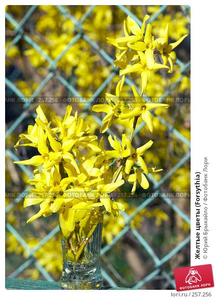 Желтые цветы (Forsythia), фото № 257256, снято 11 апреля 2008 г. (c) Юрий Брыкайло / Фотобанк Лори