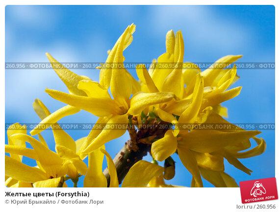 Желтые цветы (Forsythia), фото № 260956, снято 11 апреля 2008 г. (c) Юрий Брыкайло / Фотобанк Лори