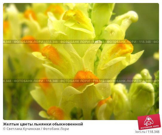 Купить «Желтые цветы льнянки обыкновенной», фото № 118348, снято 20 марта 2018 г. (c) Светлана Кучинская / Фотобанк Лори