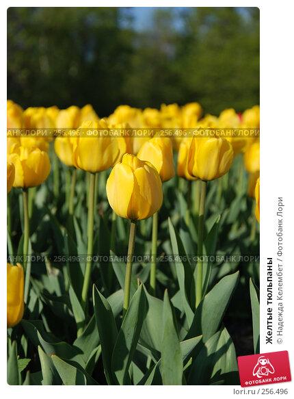 Купить «Желтые тюльпаны», фото № 256496, снято 13 мая 2007 г. (c) Надежда Келембет / Фотобанк Лори