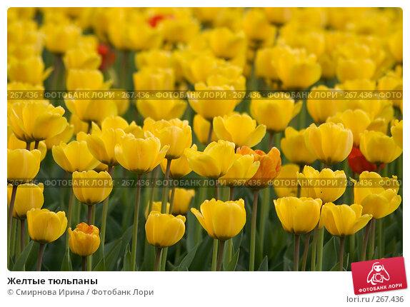 Желтые тюльпаны, фото № 267436, снято 27 апреля 2008 г. (c) Смирнова Ирина / Фотобанк Лори
