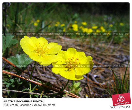 Желтые весенние цветы, фото № 268376, снято 20 апреля 2008 г. (c) Вячеслав Паслёнов / Фотобанк Лори
