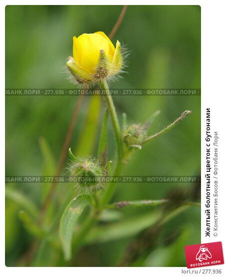 Желтый болотный цветок с бутонами, фото № 277936, снято 25 сентября 2017 г. (c) Константин Босов / Фотобанк Лори