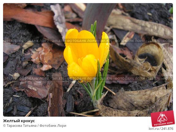 Купить «Желтый крокус», фото № 241876, снято 1 апреля 2008 г. (c) Тарасова Татьяна / Фотобанк Лори