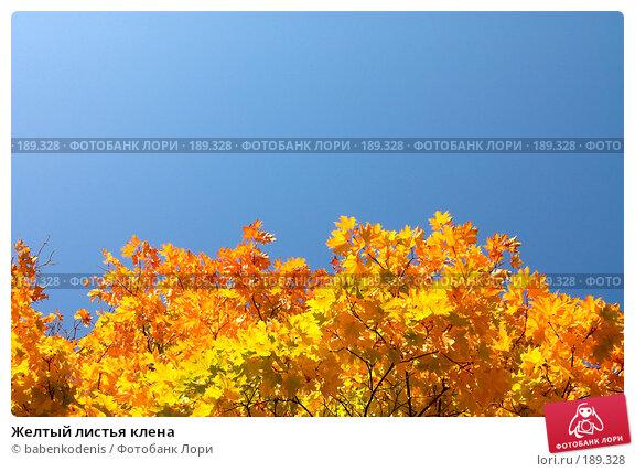 Желтый листья клена, фото № 189328, снято 24 сентября 2006 г. (c) Бабенко Денис Юрьевич / Фотобанк Лори