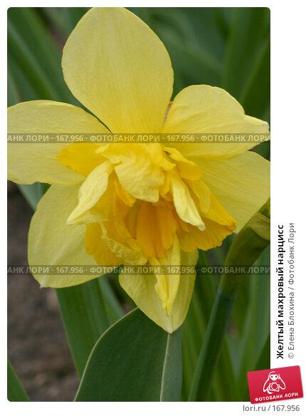 Желтый махровый нарцисс, фото № 167956, снято 27 апреля 2007 г. (c) Елена Блохина / Фотобанк Лори