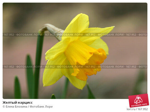 Желтый нарцисс, фото № 167952, снято 24 апреля 2007 г. (c) Елена Блохина / Фотобанк Лори