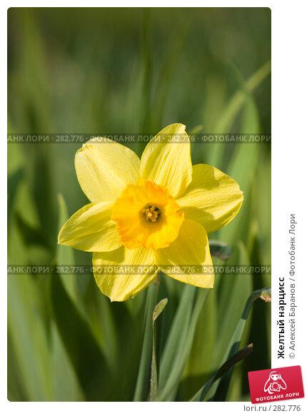 Желтый нарцисс, фото № 282776, снято 10 мая 2008 г. (c) Алексей Баранов / Фотобанк Лори