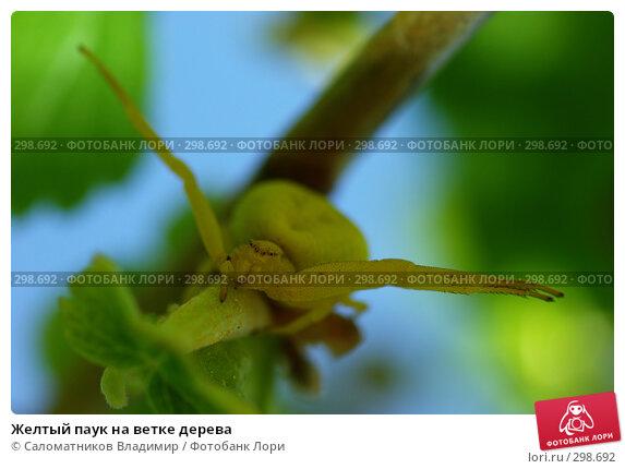 Желтый паук на ветке дерева, фото № 298692, снято 24 июля 2017 г. (c) Саломатников Владимир / Фотобанк Лори