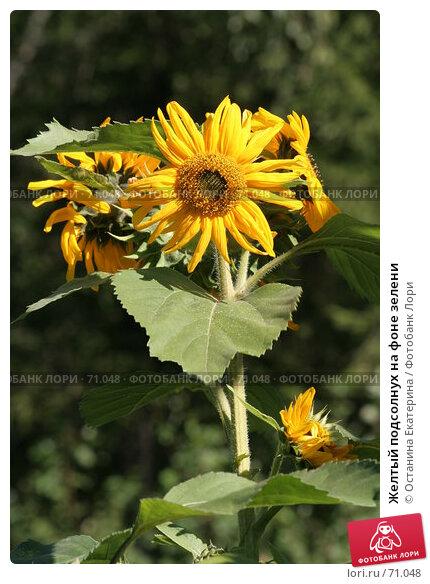 Купить «Желтый подсолнух на фоне зелени», фото № 71048, снято 12 августа 2007 г. (c) Останина Екатерина / Фотобанк Лори