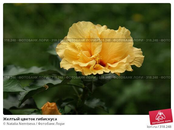 Купить «Желтый цветок гибискуса», эксклюзивное фото № 318248, снято 2 июня 2008 г. (c) Natalia Nemtseva / Фотобанк Лори