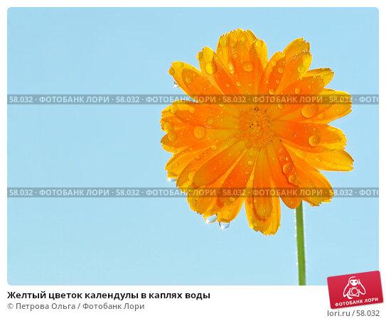 Желтый цветок календулы в каплях воды, фото № 58032, снято 1 июля 2007 г. (c) Петрова Ольга / Фотобанк Лори