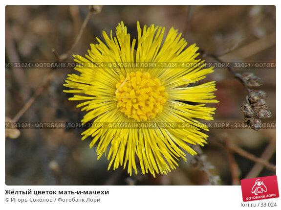 Жёлтый цветок мать-и-мачехи, фото № 33024, снято 24 мая 2017 г. (c) Игорь Соколов / Фотобанк Лори