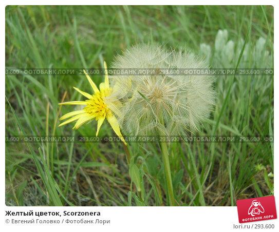 Купить «Желтый цветок, Scorzonera», фото № 293600, снято 2 мая 2008 г. (c) Евгений Головко / Фотобанк Лори