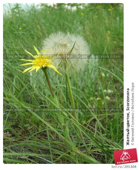 Желтый цветок, Scorzonera, фото № 293604, снято 2 мая 2008 г. (c) Евгений Головко / Фотобанк Лори