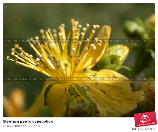 Желтый цветок зверобоя, фото № 325916, снято 14 июля 2006 г. (c) sav / Фотобанк Лори