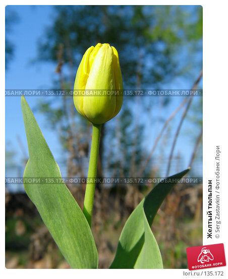 Желтый тюльпан, фото № 135172, снято 20 мая 2005 г. (c) Serg Zastavkin / Фотобанк Лори