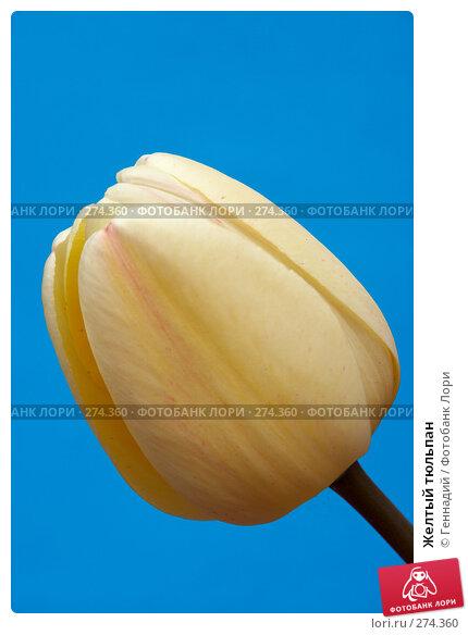 Желтый тюльпан, фото № 274360, снято 17 мая 2007 г. (c) Геннадий / Фотобанк Лори
