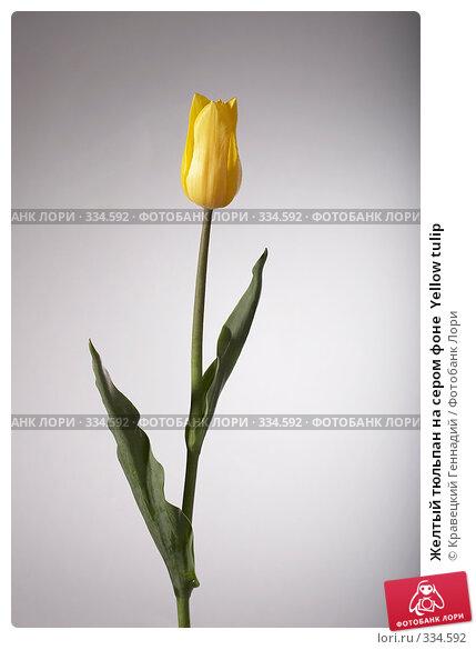 Желтый тюльпан на сером фоне  Yellow tulip, фото № 334592, снято 9 мая 2005 г. (c) Кравецкий Геннадий / Фотобанк Лори
