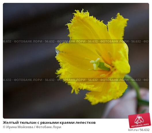 Желтый тюльпан с рваными краями лепестков, эксклюзивное фото № 56632, снято 12 мая 2007 г. (c) Ирина Мойсеева / Фотобанк Лори