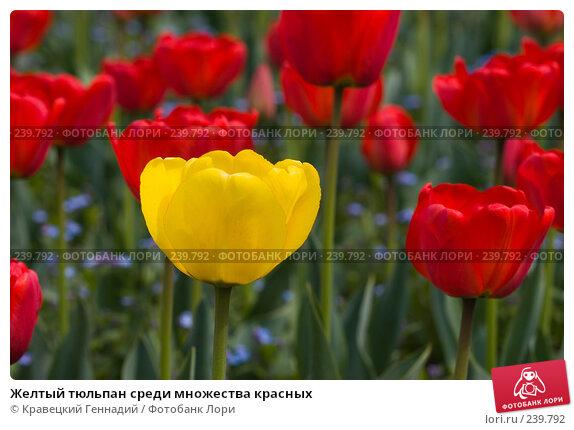 Желтый тюльпан среди множества красных, фото № 239792, снято 20 сентября 2017 г. (c) Кравецкий Геннадий / Фотобанк Лори
