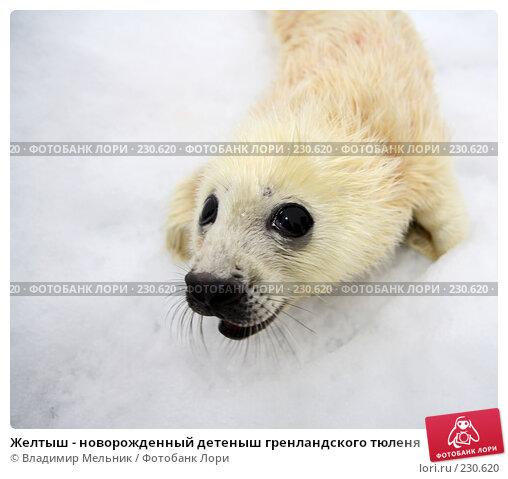 Желтыш - новорожденный детеныш гренландского тюленя, фото № 230620, снято 11 марта 2008 г. (c) Владимир Мельник / Фотобанк Лори