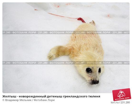 Купить «Желтыш - новорожденный детеныш гренландского тюленя», фото № 231280, снято 11 марта 2008 г. (c) Владимир Мельник / Фотобанк Лори