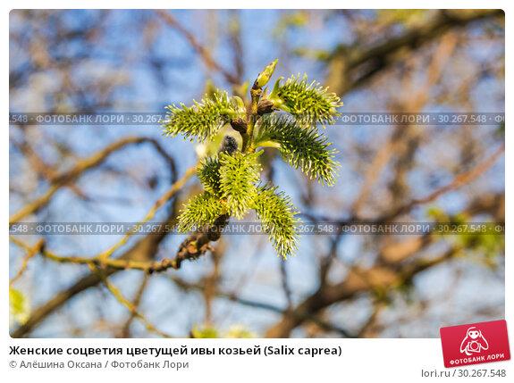 Купить «Женские соцветия цветущей ивы козьей (Salix caprea)», фото № 30267548, снято 12 апреля 2016 г. (c) Алёшина Оксана / Фотобанк Лори