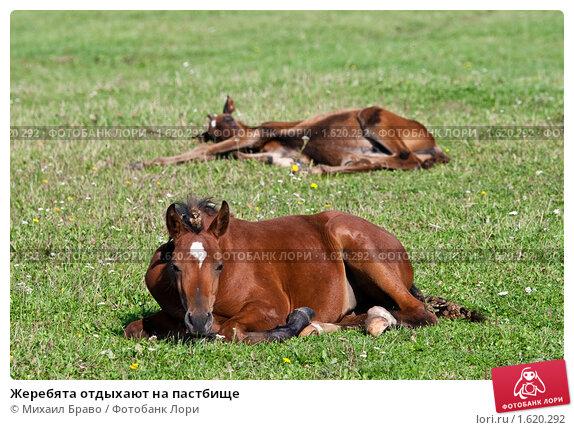 Купить «Жеребята отдыхают на пастбище», фото № 1620292, снято 12 сентября 2009 г. (c) Михаил Браво / Фотобанк Лори
