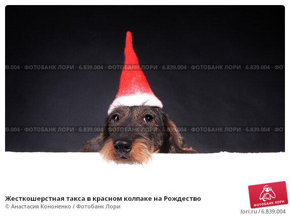 Купить «Жесткошерстная такса в красном колпаке на Рождество», фото № 6839004, снято 28 августа 2007 г. (c) Анастасия Кононенко / Фотобанк Лори