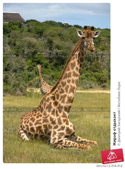 Жираф отдыхает. Стоковое фото, фотограф Дмитрий Загорский / Фотобанк Лори