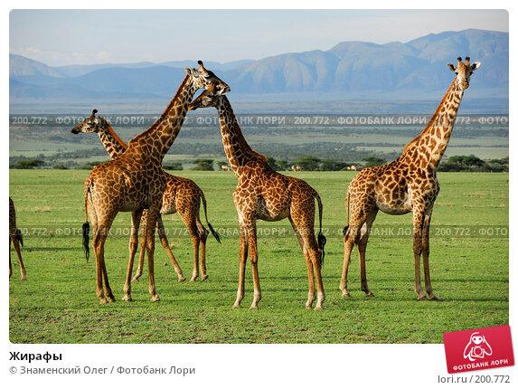 Жирафы, фото № 200772, снято 24 января 2008 г. (c) Знаменский Олег / Фотобанк Лори