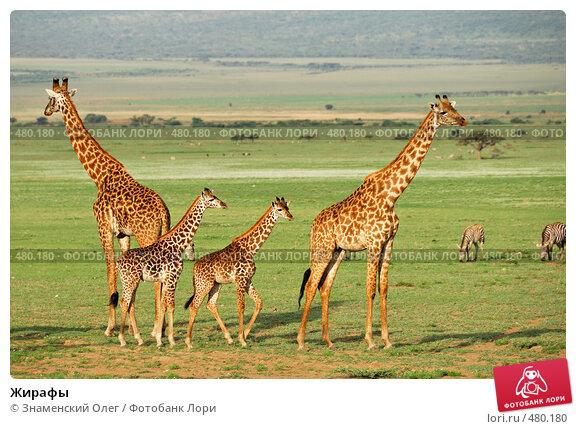 Купить «Жирафы», фото № 480180, снято 24 января 2008 г. (c) Знаменский Олег / Фотобанк Лори