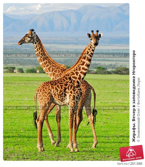 Купить «Жирафы. Вечер в заповеднике Нгоронгоро», фото № 281088, снято 24 января 2008 г. (c) Знаменский Олег / Фотобанк Лори