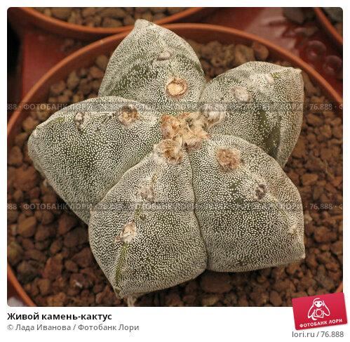Купить «Живой камень-кактус», фото № 76888, снято 10 апреля 2007 г. (c) Лада Иванова / Фотобанк Лори