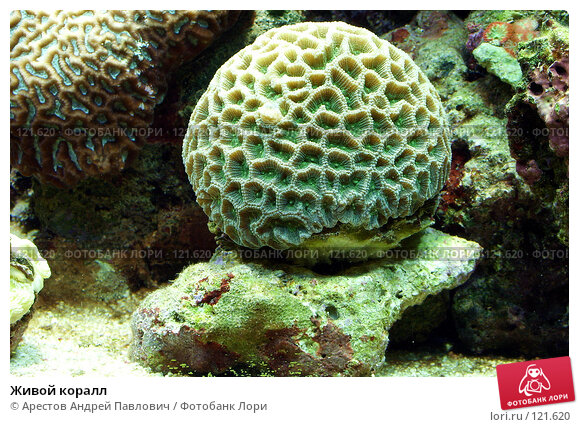 Живой коралл, фото № 121620, снято 12 ноября 2006 г. (c) Арестов Андрей Павлович / Фотобанк Лори