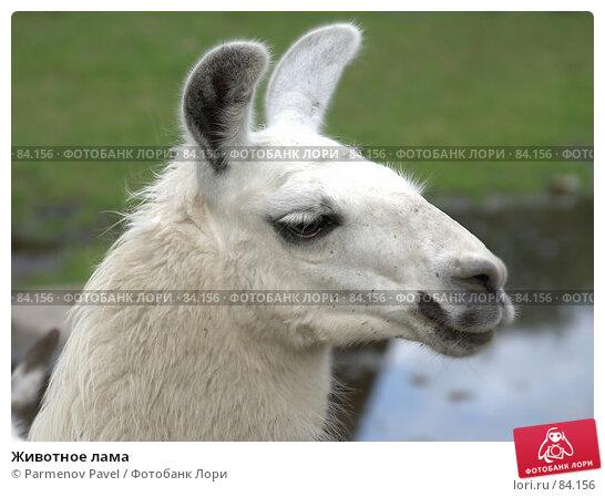Животное лама, фото № 84156, снято 4 сентября 2007 г. (c) Parmenov Pavel / Фотобанк Лори