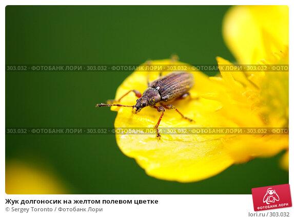 Жук долгоносик на желтом полевом цветке, фото № 303032, снято 11 мая 2008 г. (c) Sergey Toronto / Фотобанк Лори
