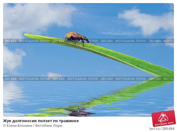 Жук долгоносик ползет по травинке, фото № 289684, снято 16 мая 2008 г. (c) Елена Блохина / Фотобанк Лори