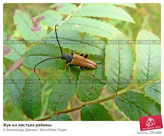Жук на листьях рябины, эксклюзивное фото № 276896, снято 29 июля 2007 г. (c) Александр Щепин / Фотобанк Лори