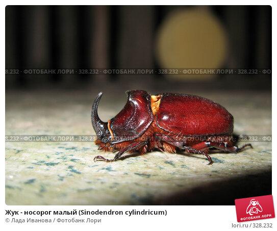 Жук - носорог малый (Sinodendron cylindricum), фото № 328232, снято 13 июня 2008 г. (c) Лада Иванова / Фотобанк Лори
