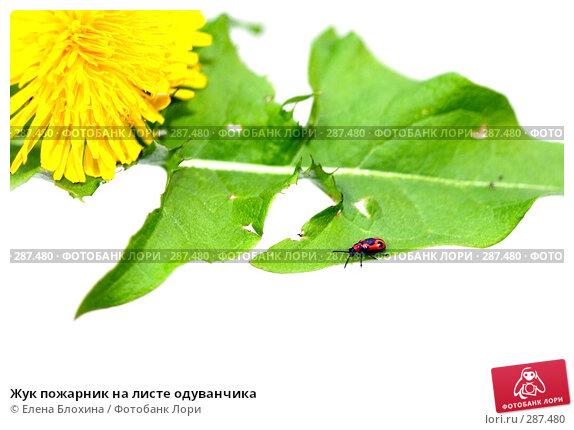 Купить «Жук пожарник на листе одуванчика», фото № 287480, снято 16 мая 2008 г. (c) Елена Блохина / Фотобанк Лори
