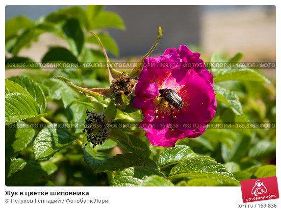 Жук в цветке шиповника, фото № 169836, снято 9 июня 2007 г. (c) Петухов Геннадий / Фотобанк Лори