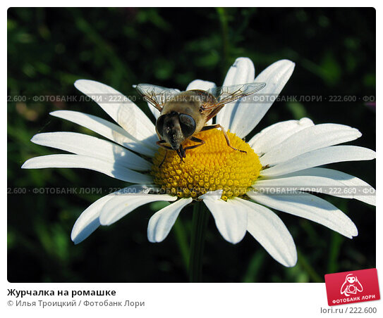 Купить «Журчалка на ромашке», фото № 222600, снято 18 июня 2005 г. (c) Илья Троицкий / Фотобанк Лори
