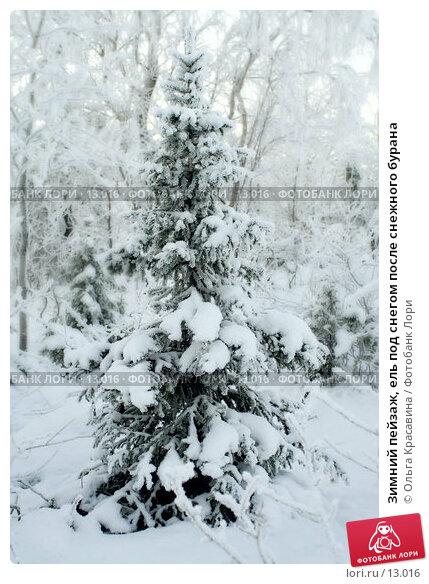 Зимний пейзаж, ель под снегом после снежного бурана, фото № 13016, снято 5 ноября 2006 г. (c) Ольга Красавина / Фотобанк Лори