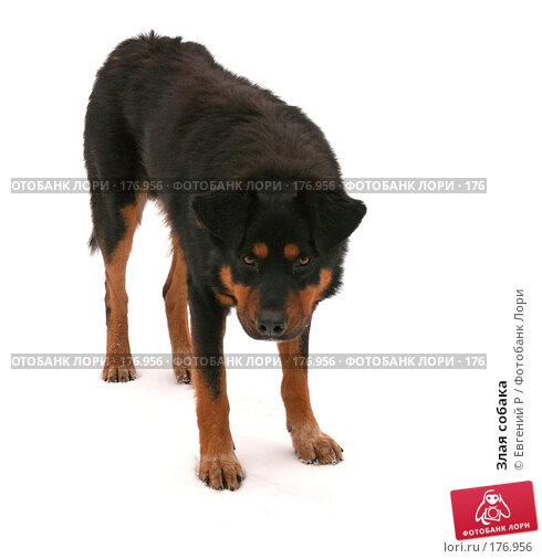 Злая собака, фото № 176956, снято 13 декабря 2007 г. (c) Евгений Р / Фотобанк Лори