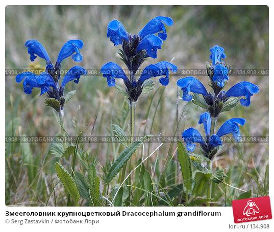 Купить «Змееголовник крупноцветковый Dracocephalum grandiflorum», фото № 134908, снято 1 июля 2006 г. (c) Serg Zastavkin / Фотобанк Лори