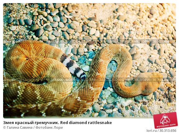 Купить «Змея красный гремучник. Red diamond rattlesnake», фото № 30313656, снято 14 апреля 2015 г. (c) Галина Савина / Фотобанк Лори