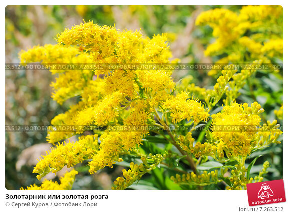 Купить «Золотарник или золотая розга», фото № 7263512, снято 23 августа 2011 г. (c) Сергей Куров / Фотобанк Лори