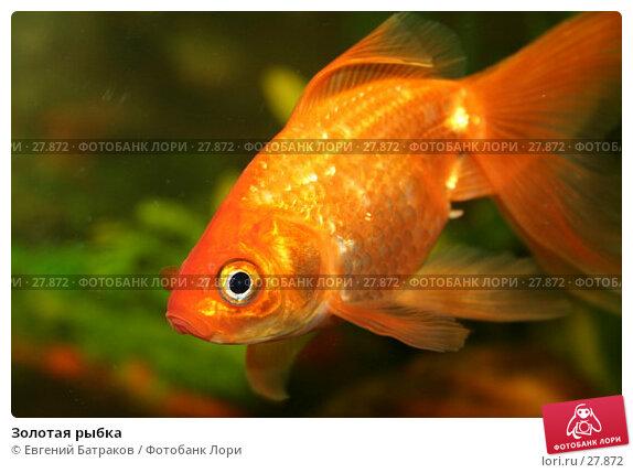 Золотая рыбка, фото № 27872, снято 21 августа 2006 г. (c) Евгений Батраков / Фотобанк Лори